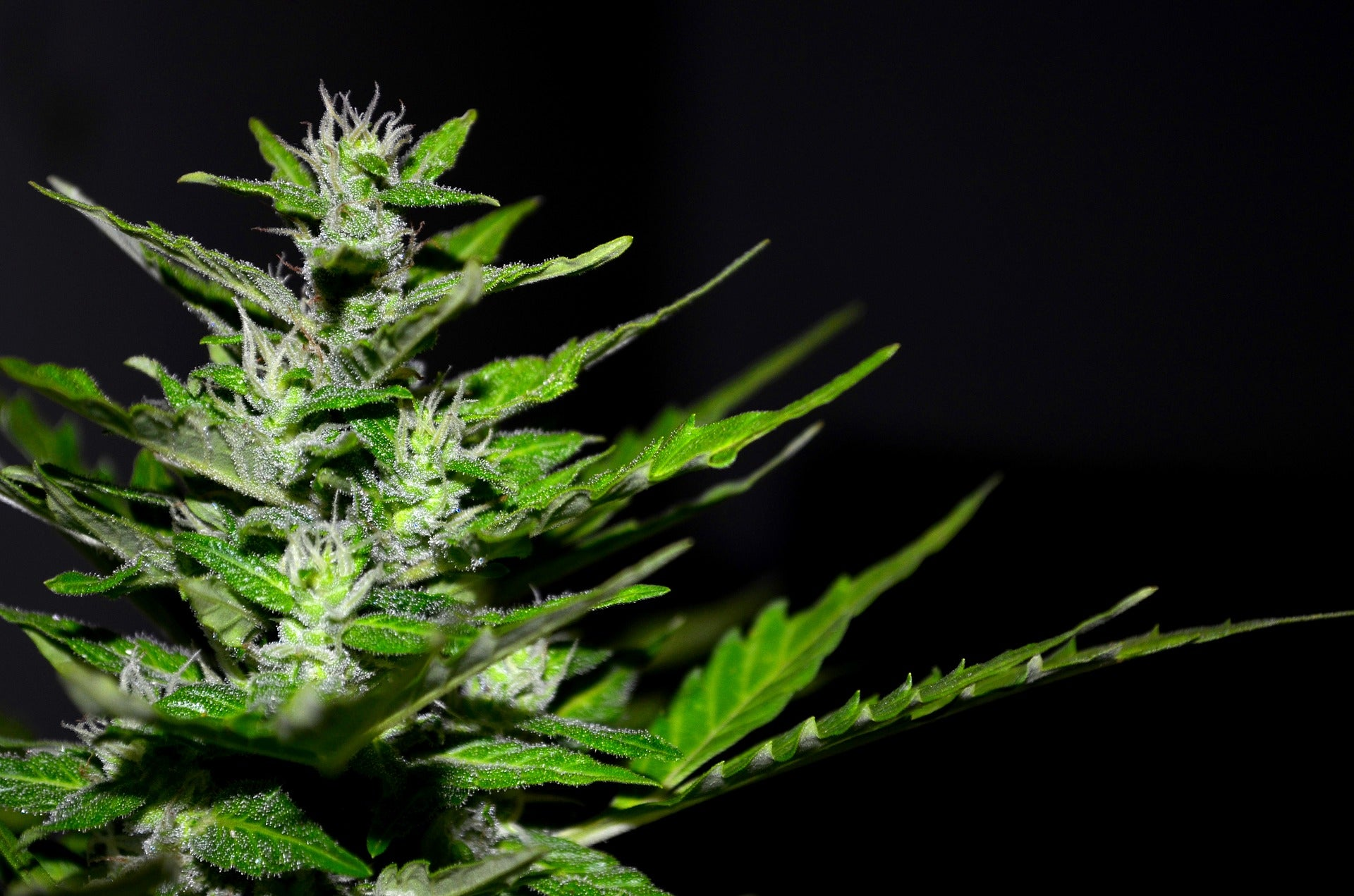 ACB), (ALEAF) - Cannabis Countdown: Top 10 Marijuana Stock News