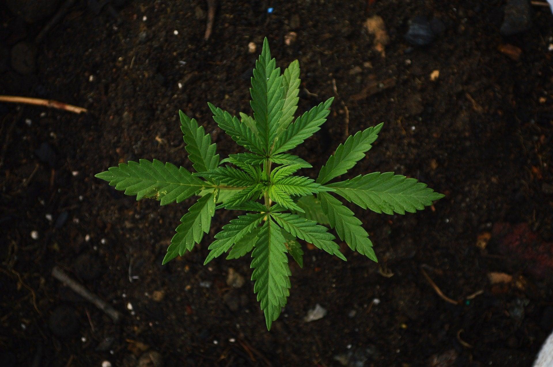 benzinga.com - Andrew Ward - Home Cannabis Cultivation Continues, Despite Opposition From Many Marijuana Companies